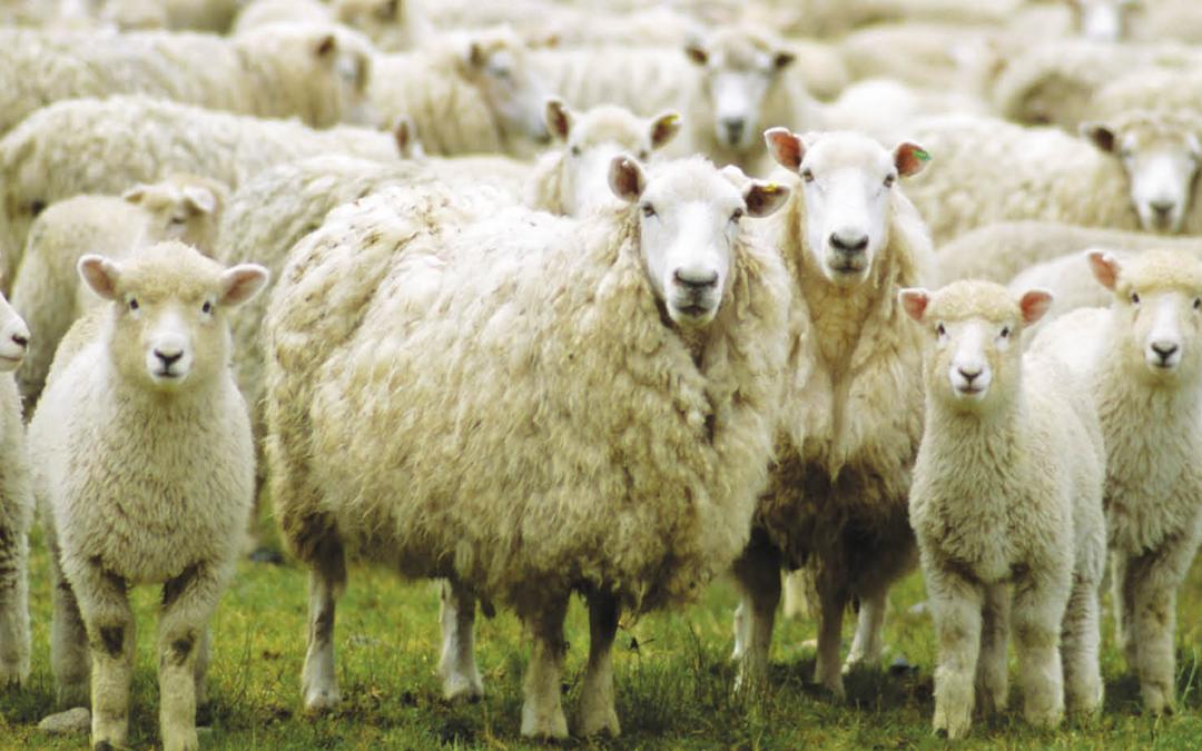 Ciò che mettiamo in gioco alla fine ci viene restituito. Le 17 pecore.